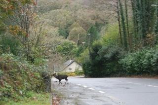 deer at glengarriff